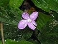 角葉山柰 Kaempferia angustifolia -檳城香料園 Tropical Spice Garden, Penang- (9200947342).jpg