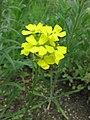 野甘藍屬 Rapistrum perenne -維也納大學植物園 Vienna University Botanical Garden- (28425983014).jpg