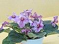 非洲紫羅蘭 Saintpaulia RS-Ogon Zhelaniy -香港北區花鳥蟲魚展 North District Flower Show, Hong Kong- (27502995479).jpg