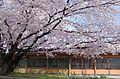 食とみどり技術センターの桜 2014.4.02 - panoramio.jpg