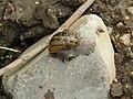 -2018-08-27 Kentish Snail (Monacha-cantiana) Heath Lane, Trimingham, Norfolk (2).JPG