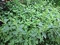 -2019-07-21 Oregano (Origanum vulgare), Trimingham.JPG