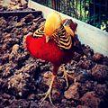 -istanbul -turkey -zoo -chicken -animal (14346533914).jpg