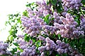 02018 0252 Syringa vulgaris in Sanok.jpg