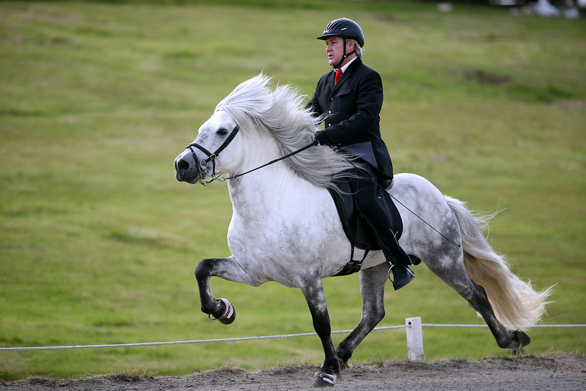 icelandic horse wikipedia