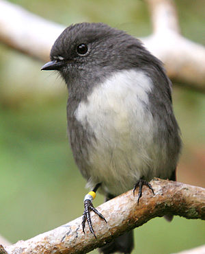 South Island robin - South Island robin (Petroica australis)