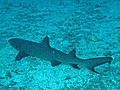 0710GBR 22 a veteran shark M (3745378707).jpg