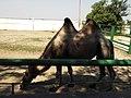 14.Двогорбий верблюд (10).jpg