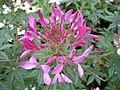 1812 - Salzburg - Mirabellgarten - Flower.JPG