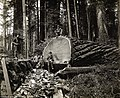 1915 era work of loggers in the densely forested northern California area.jpg