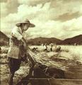 1952-10 1952年许桂荣农业生产合作社水稻丰收.png