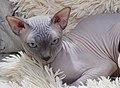 1 adult cat Sphynx. img 033.jpg