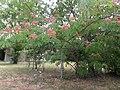 1 flores rosadas texas pink flower tree (2).jpg