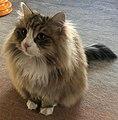 1 year old siberian tabby cat.jpg