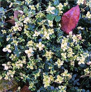 Sorte mit gelbgrünen Blättern