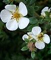 2007-08-30Potentilla fruticosa10.jpg