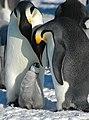 2007 Snow-Hill-Island Luyten-De-Hauwere-Emperor-Penguin-108.jpg