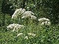 20120629Valeriana officinalis2.jpg