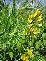 20130602Lathyrus pratensis2.jpg