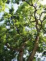 20130817Celtis australis1.jpg