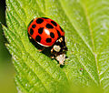 2014-05-28 17-45-46 Coccinellidae.jpg