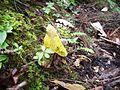 2014-07-28 Phallus luteus (Liou & L. Hwang) T. Kasuya 437661.jpg