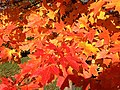 2014-11-02 15 06 27 Sugar Maple foliage during autumn along Parkway Avenue in Ewing, New Jersey.jpg