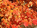 2014-11-02 15 08 37 Sugar Maple foliage during autumn along Parkway Avenue in Ewing, New Jersey.jpg