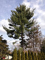 2014-12-30 11 51 40 Eastern White Pine along Lower Ferry Road (Mercer County Route 643) in Ewing, New Jersey.JPG