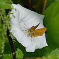 2014.07.15.-30-Presseler Teich--Rostfarbiger Dickkopffalter-Weibchen.jpg