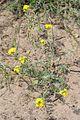20140601Alyssum montanum subsp gmelinii002.JPG
