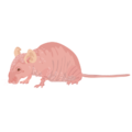 201412 nude mouse.png