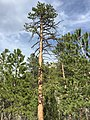 2015-04-30 16 32 49 Ponderosa Pine along the Trail Canyon Trail in the Mount Charleston Wilderness, Nevada about 0.9 miles north of the trailhead.jpg
