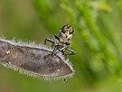 2015.07.16.-02-Viernheim--Barbarossa-Fliege-Maennchen.jpg