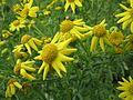 20161026Jacobaea vulgaris1.jpg