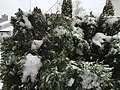 2017-03-14 09 23 28 Emerald Green Arborvitae coated in snow and ice pellets along Tranquility Court in the Franklin Farm section of Oak Hill, Fairfax County, Virginia.jpg