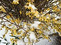 2017-03-14 09 55 18 Forsythia blossoms coated in snow and ice pellets along Tranquility Court in the Franklin Farm section of Oak Hill, Fairfax County, Virginia.jpg