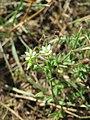 20170718Arenaria serpyllifolia1.jpg