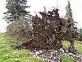 2018-08-11 (139) Broken tree at Tirolerkogel, Annaberg, Austria.jpg