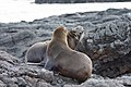 20180808-Galápagos fur seal-8 at Santiago (9792).jpg