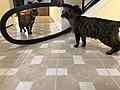 2020-01-19 18 07 39 A Tabby cat reacting to a mirror in the Franklin Farm section of Oak Hill, Fairfax County, Virginia.jpg