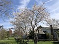 2020-03-22 13 27 19 Flowering Cherries blooming along Virginia Willow Drive in the Franklin Glen section of Chantilly, Fairfax County, Virginia.jpg