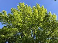 2020-05-12 17 10 59 View up into the canopy of a Pin Oak in spring along Thorngate Drive in the Franklin Farm section of Oak Hill, Fairfax County, Virginia.jpg