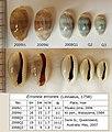 20 Erronea errones from Japan & Australia 640.jpg