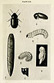 40-Indian-Insect-Life - Harold Maxwell-Lefroy - Lasioderma-testaceum.jpg