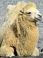 50 Jahre Knie's Kinderzoo - Camelus bactrianus (Trampeltier) 2012-10-03 15-18-37.JPG