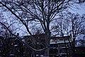 51-101-5040 Платан західний», м. Одеса, сквер Пале-Рояль.jpg