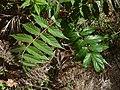 A. altissima - leave - 1.jpg