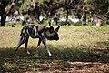 AFRICAN WILD DOG (13946510722).jpg