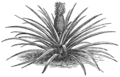 AGTM D190 The pineapple plant.png